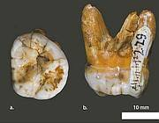 I denti attribuiti ai Denisoviani